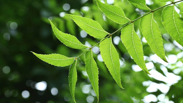 Neem (Indian Lilac)